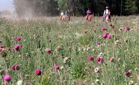 Thistle is a pernicious weed that is difficult to remove and crowds out native vegetation that animals depend on.