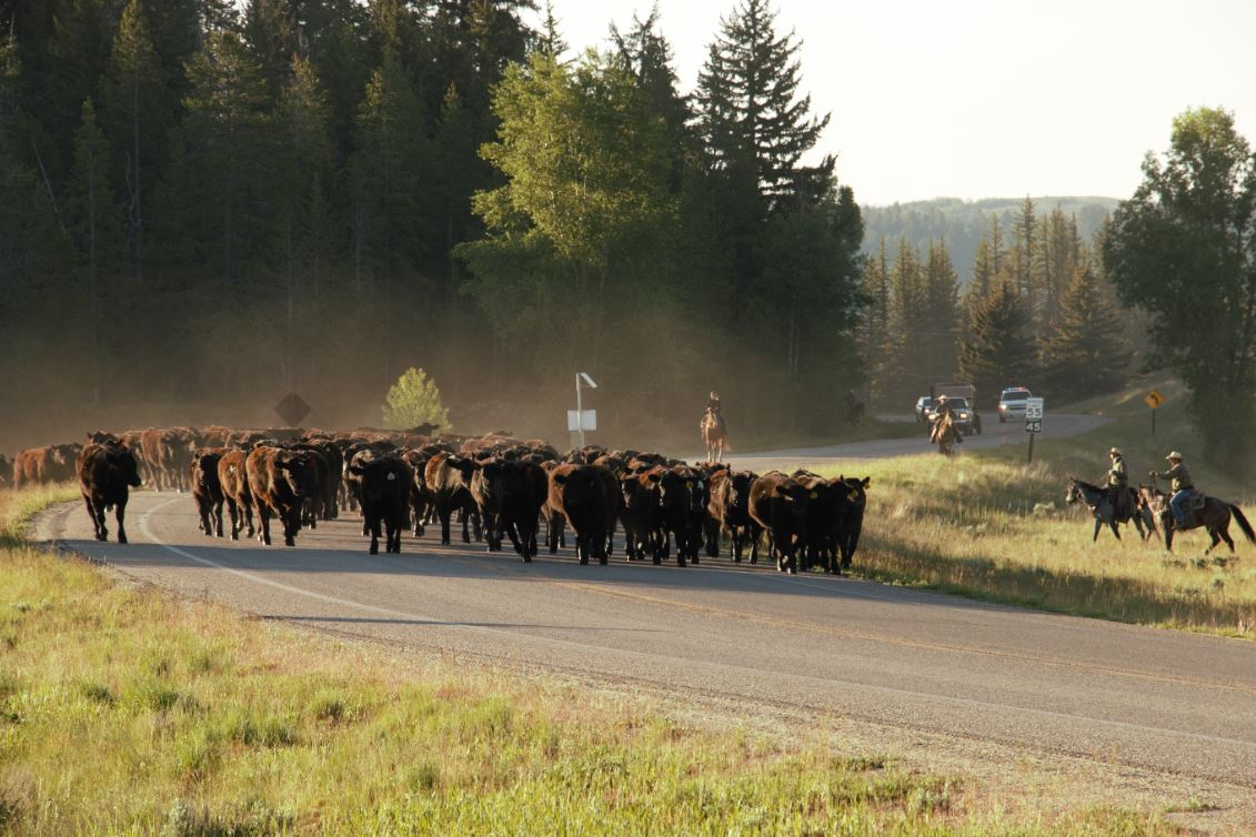 Photo of cattle being herded across Highway 89 in 2018.