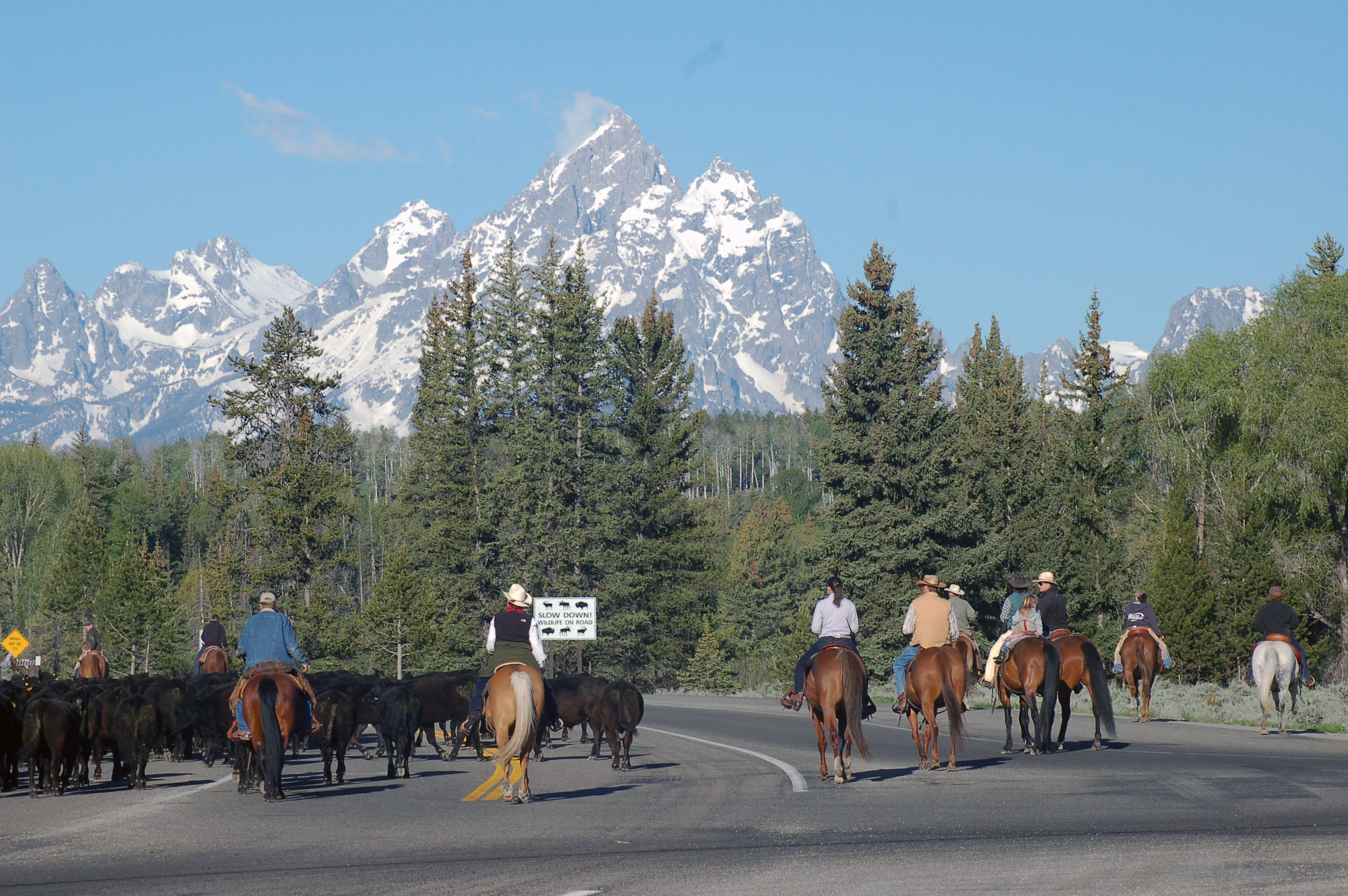 annual cattle drive to elk ranch pastures