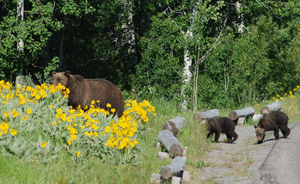 Grizzly with cubs (Photo credit: D. Lehle, NPS)