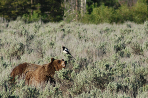 Grizzly bear and magpie