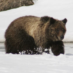 Grizzly_Bear-250px