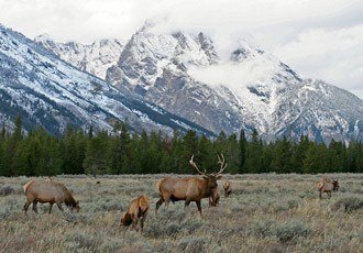Elk grazing in the sagebrush with Mt. Moran in the background with new snow.