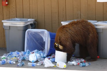 A black bear digs into unsecured trash and recycling in the park.