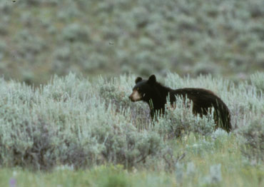 A black bear walks through the sagebrush.