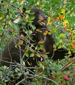 A black bear feeds on hawthorne berries.