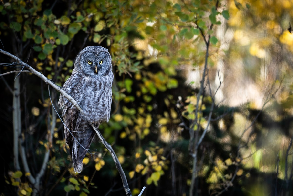 A large gray owl sits on a branch.