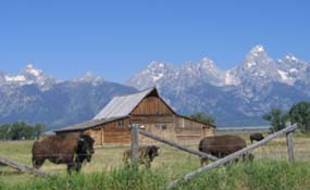 Moulton Barn and bison