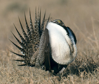 Sage Grouse Display