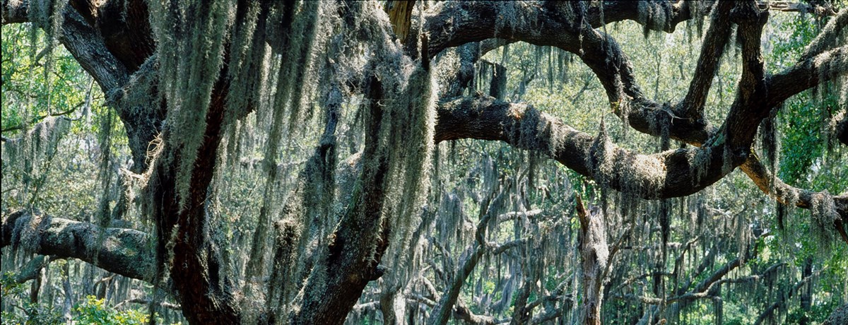 Spanish moss hangs from a stand of Live Oak Trees