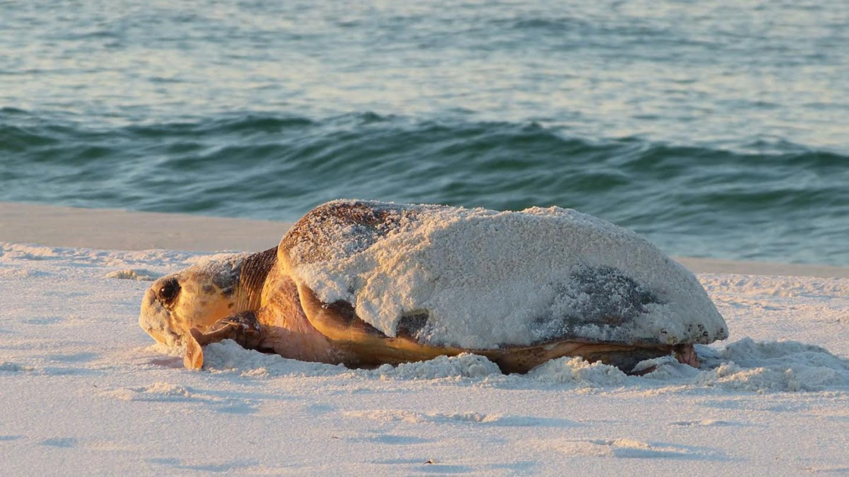 Female sea turtle craws through the sand near the water.