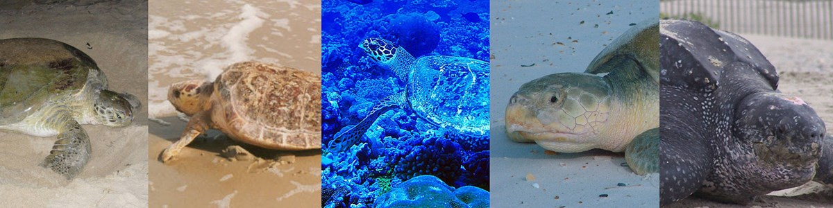 From left to right images of a green sea turtle, loggerhead sea turtle, hawksbill sea turtle, kemps ridley sea turtle, and leatherback sea turtle.