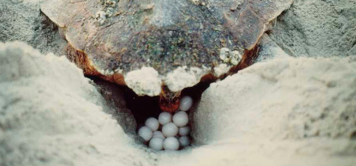 A sea turtle lays eggs into a nest dug in the sand.