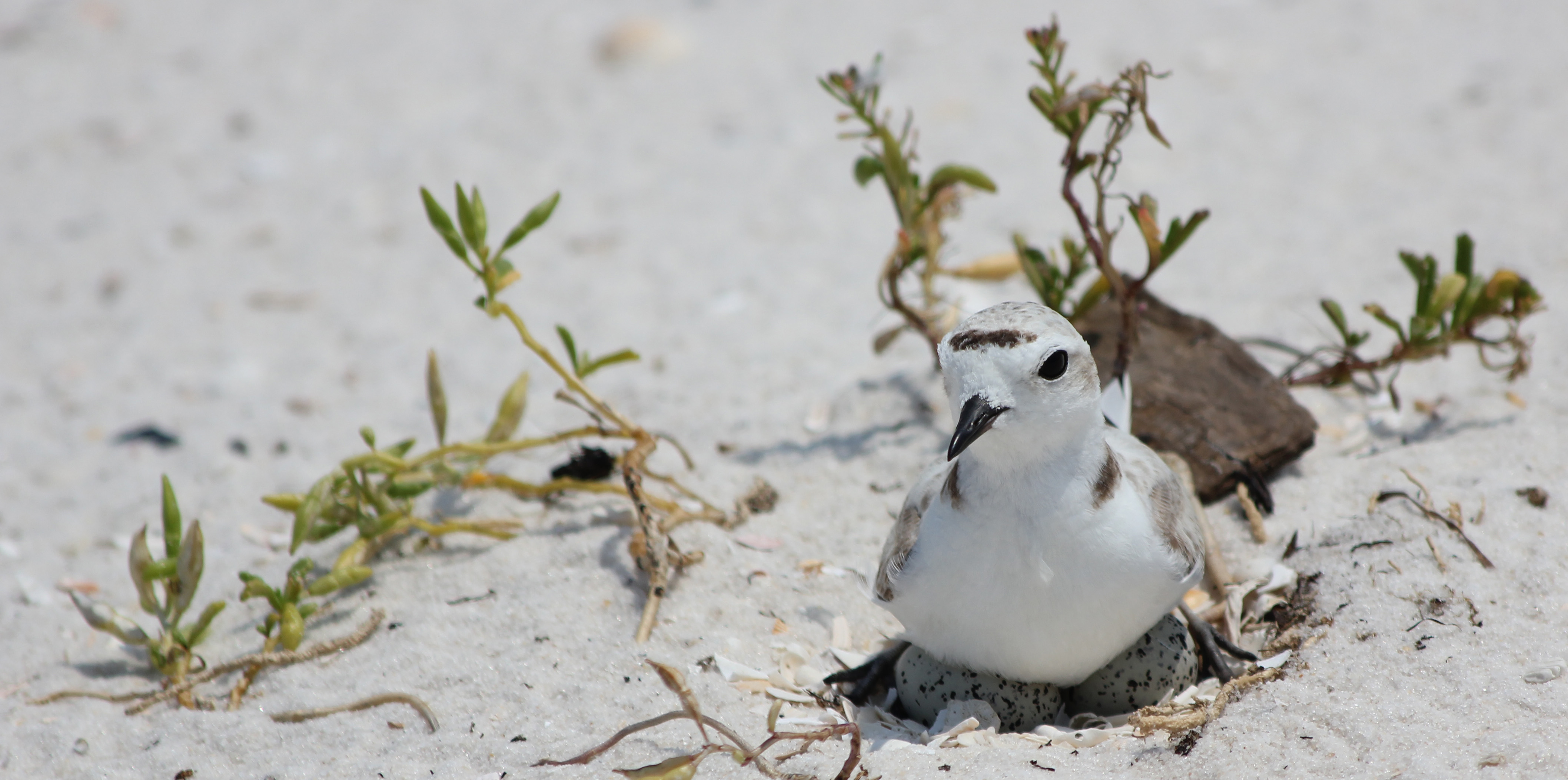 A shorebird sits on black spotted eggs