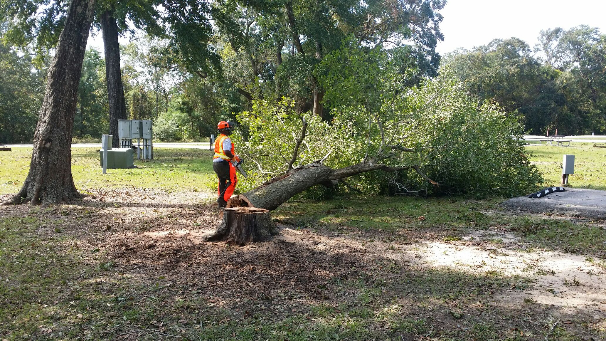 A park employee inspects a downed tree before using a chainsaw to cut it up.