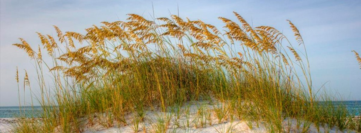 Sea Oats atop of sand dune.