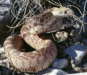 The bullsnake is the most frequently seen snake in the park.