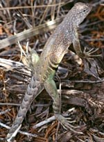 Earless lizards are among many species found in the park.