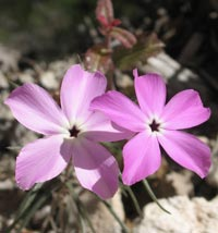 White-eye phlox offers a splash of color in a landscape dominated by muted hues of tan and brown.