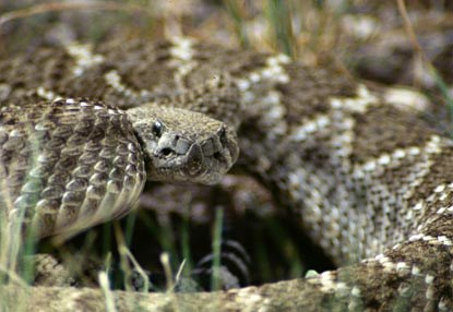 Western Diamondback rattlesnakes are one of 5 species of rattlers found in the park.