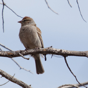 thumb_Chipping_Sparrow