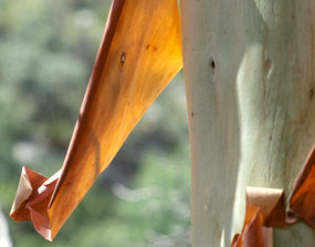 The peeling red bark of the Texas madrone reveals smooth, white bark underneath.