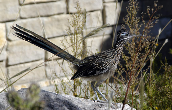 Roadrunner spotted near the visitor center.