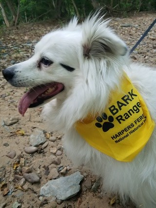 Fluffy white dog wearing a yellow Bark Ranger bandanna
