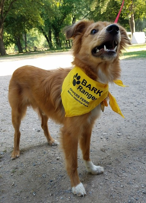 Young ginger color dog wearing a yellow BARK Ranger bandanna