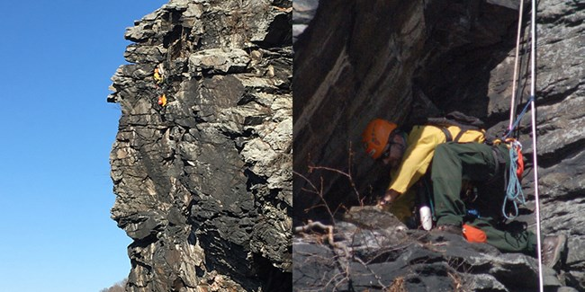 two images: ecologist rappelling to a peregrine falcon nesting site; ecologist inspecting nesting site