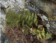 Woolly lip fern