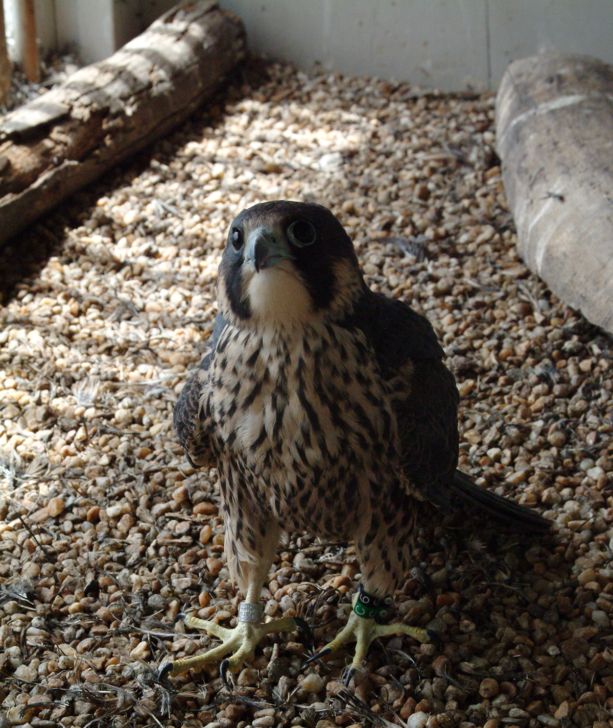 young peregrine falcon