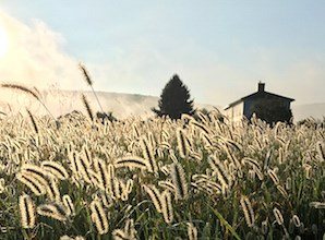 close up of grain growing on the farm, the farmhouse and mountains barely peek over the grasses