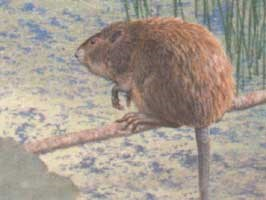 Extinct Muskrat