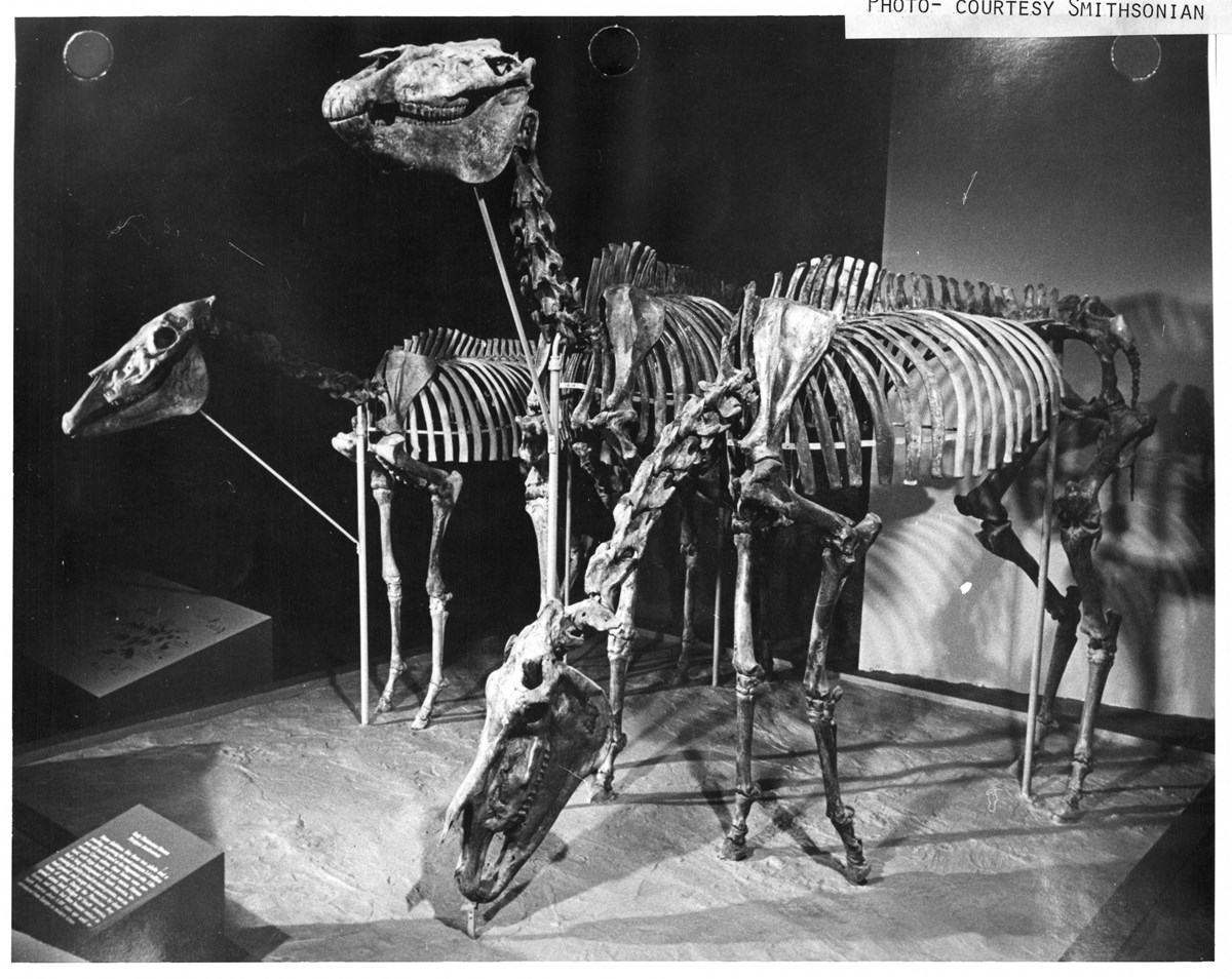 historic photo of three fossil skeletons of the Hagerman horse