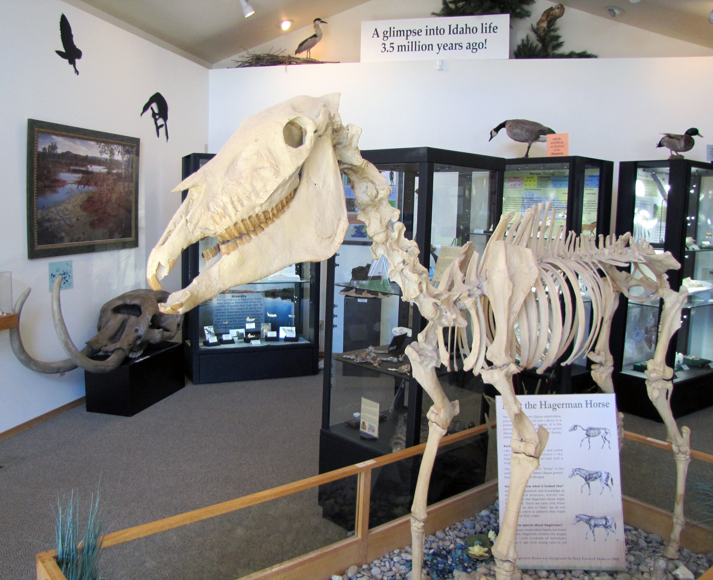 fossil cast of Hagerman horse skeleton