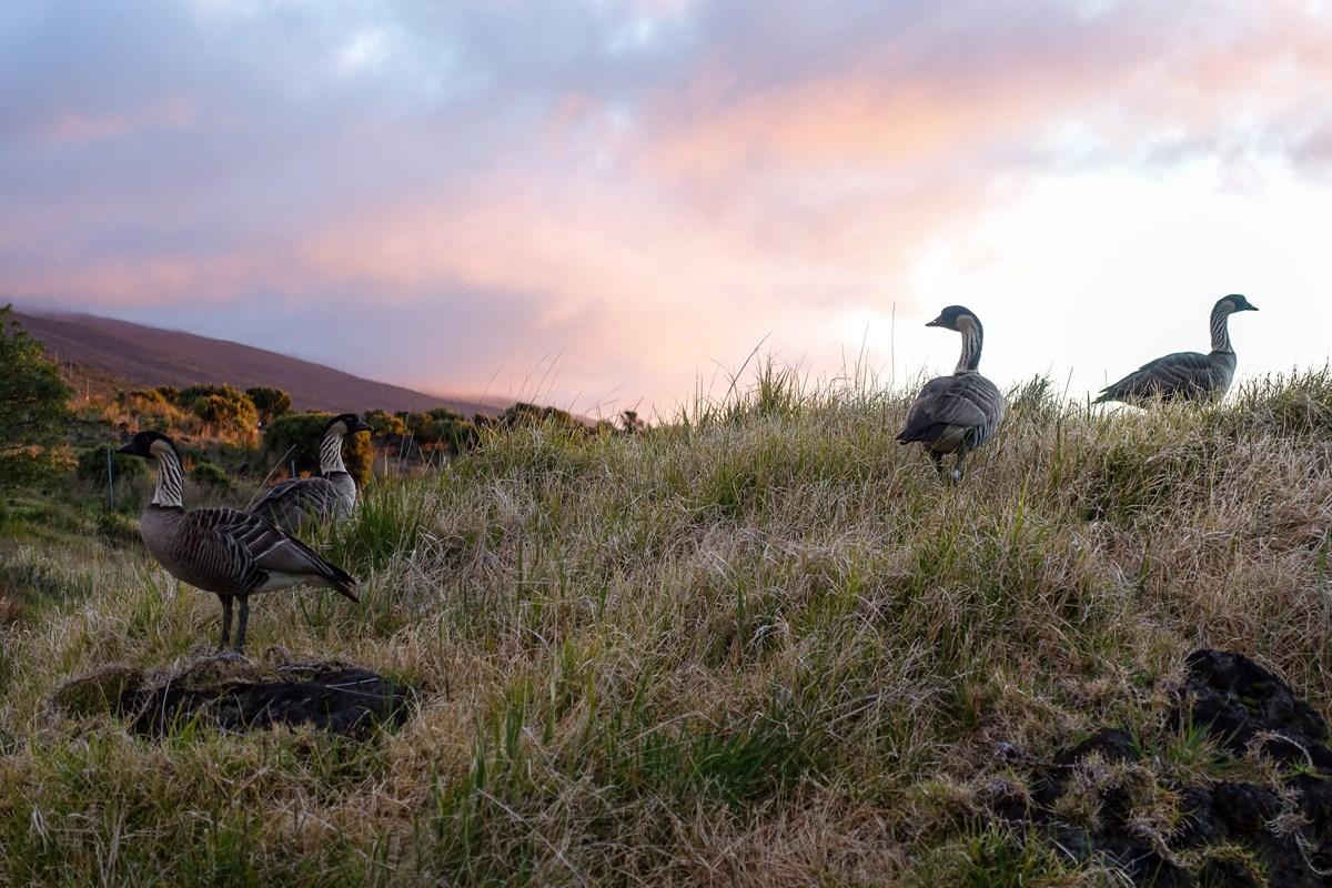 Animals Haleakala National Park U S National Park Service