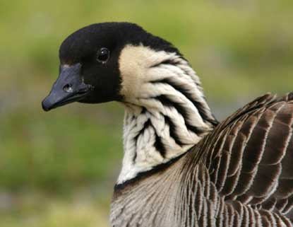 The native hawaiian goose, nene