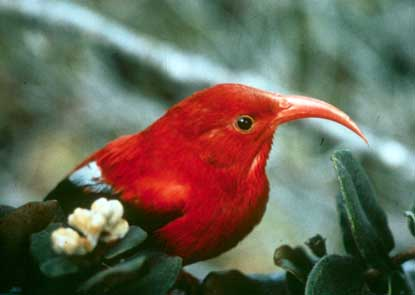 The iiwi, one of the most conspicuous of the park's honeycreepers