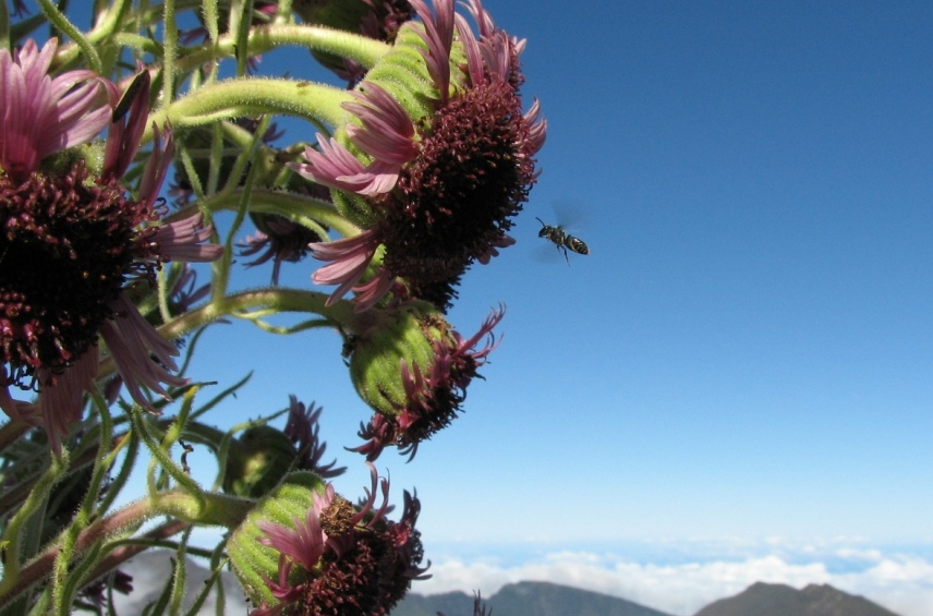 bees and silversword