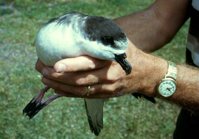 Saving endangered ʻUaʻu or Hawaiian petrel
