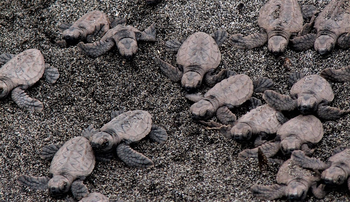 Sea turtle hatchlings on the sand