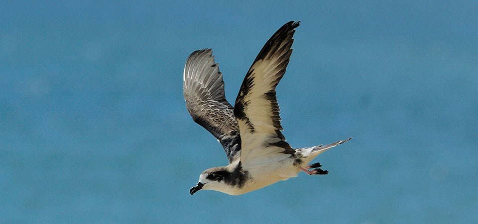 'Ua'u - Hawaiian Petrel in flight