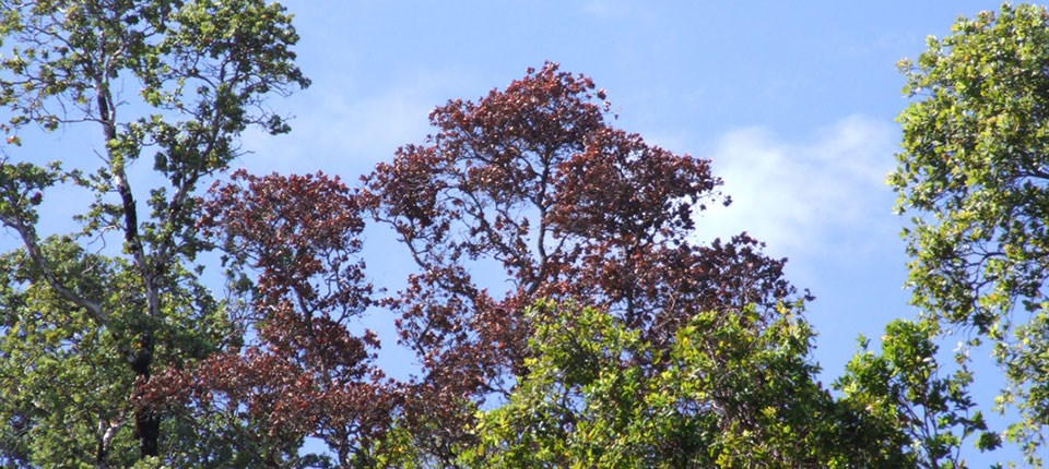 Symptoms of Rapid ʻŌhiʻa Death include rapid browning of affected tree crowns