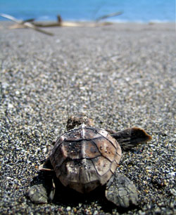 A Hawksbill turtle hatchling heads for the ocean.