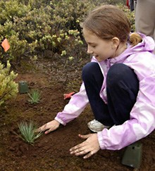 A young volunteer plants out silversword seedlings.