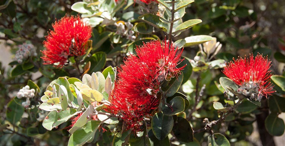 'Ōhi'a lehua blossoms on a healthy tree
