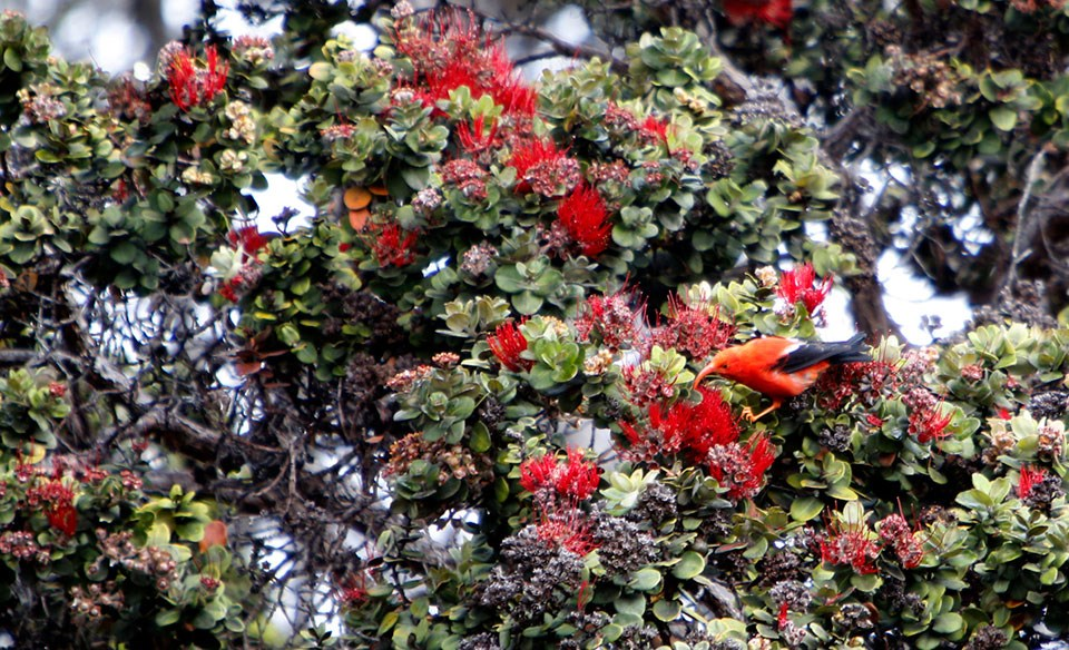 An ʻiʻiwi forages for nectar in a native ohia lehua in Hawaii Volcanoes National Park