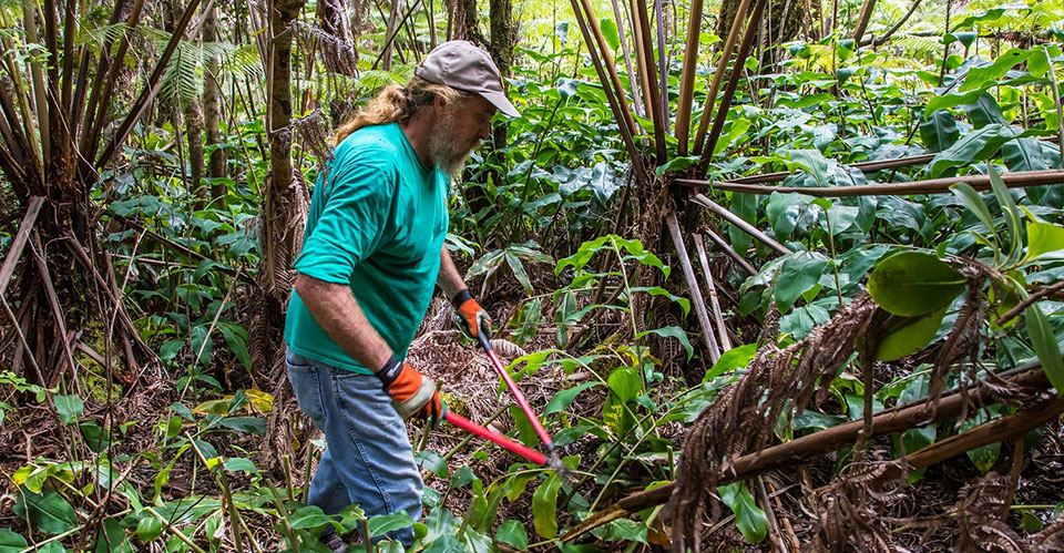 Stewardship at the Summit: a local resident removes invasive Himalayan ginger from the park