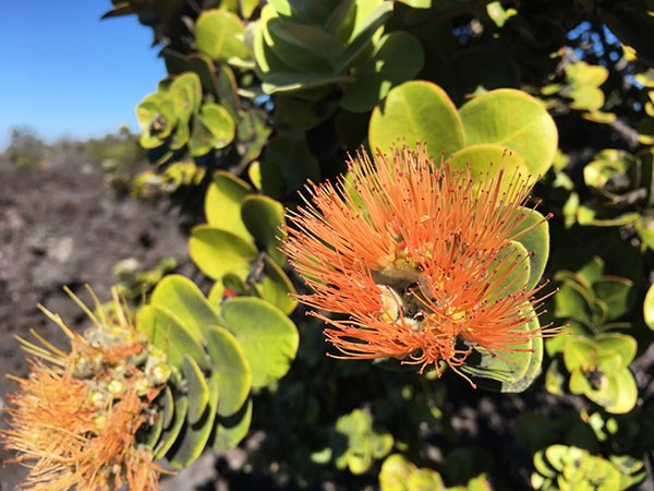 An unusual salmon lehua in Kahuku